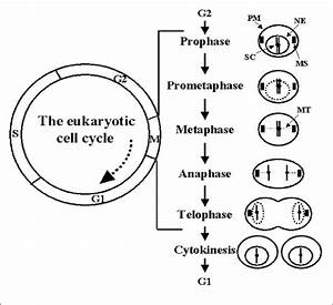 A Schematic Diagram Of The Eukaryotic Cell Cycle Is