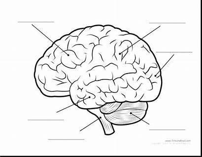 Brain Parts Human Diagram Anatomy Coloring Pages