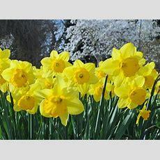 Rabattenblumen Und Beetblumen Für Blumenrabatten Und