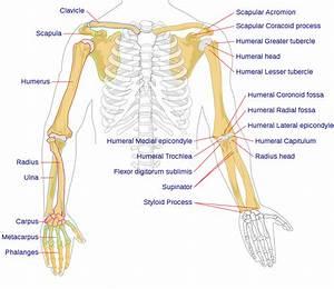 Clavicle Bones Diagram