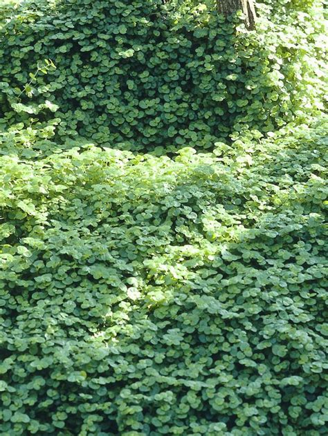 plants for dense shade six groundcover plants for d shade landscaping ideas and hardscape design hgtv
