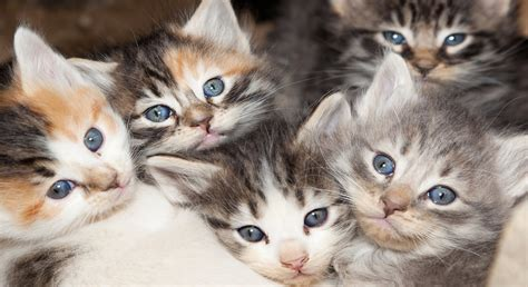 calico cats kittens why female always physiological she reason walking had laughingsquid