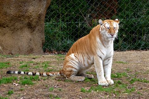 Golden Tiger Wallpaper Tigers Animals Wallpapers