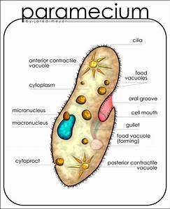 Paramecium Diagram By Lucidhysteria On Deviantart