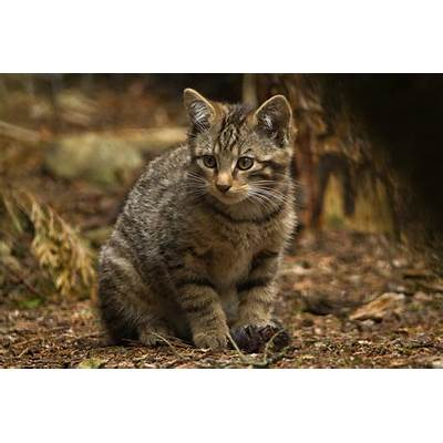 See adorable Scottish wildcat kittens which are key to