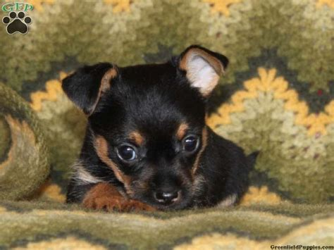 Chorkie Puppies Chorkie Puppies For Sale In Pa My Little Abbi L Pinterest For Sale