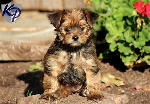 Information About Yorkie Pitbull Mix Yousenseinfo