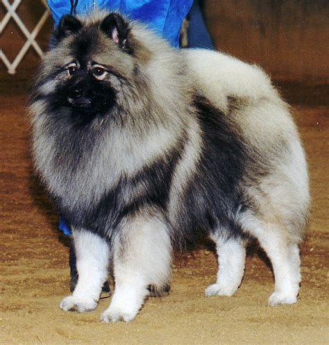 dogs that dont shed keeshond keeshond breed guide learn about the keeshond