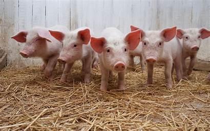 Pig Cute Desktop Wallpapers 4k