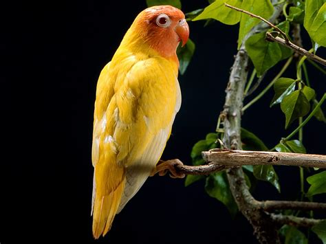 wallpapers yellow parrots