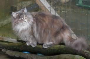 maine coon cat breeders maine coon cat breed profile uk cat breeders