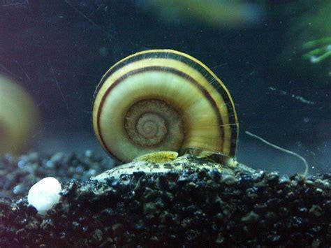 banque d images sur les escargots d eau douce forum invert 233 br 233 s d eau douce