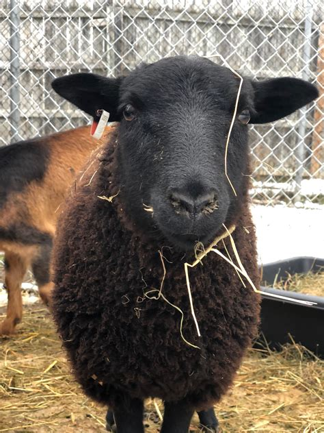 Black Welsh Mountain Sheep - Saginaw Children's Zoo