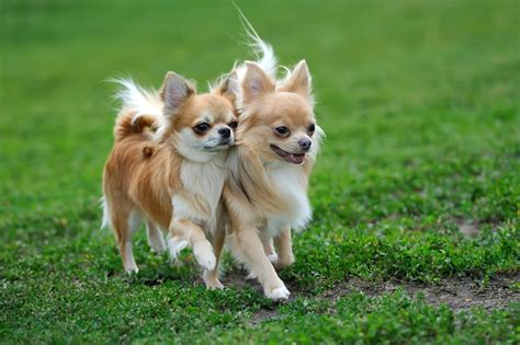 chihuahua breed information characteristics heath
