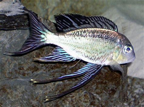 poisson lac tanganyika aquarium impact histoire d un crat 232 re eau douce afrique lac tanganyika aquarium webzine l