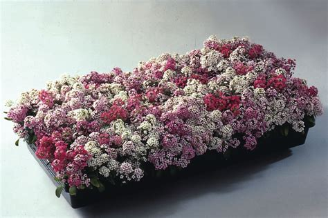 Sweet Alyssum, Sweet Alison, Seaside Lobularia 'royal Carpet' (lobularia Newstead Carpet Cleaning How To Get Human Urine Stains Out Of Scotchgard Fabric And Do You Clean Laundry Detergent Images Grey Carpets In Living Room Aabco Mn Reviews Professional Colorado Springs Co Cc Wichita Ks