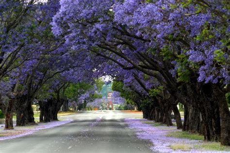 jacaranda tree jacaranda street