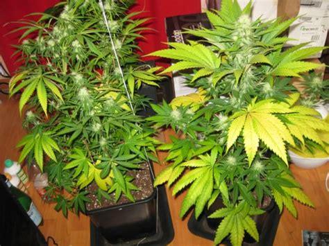 utiliser l engrais pour cultiver du cannabis en terre du growshop alchimia