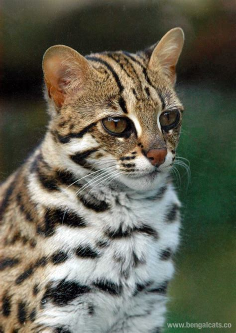 Asian Leopard Cat (prionailurus Bengalensis)  Bengal Cats