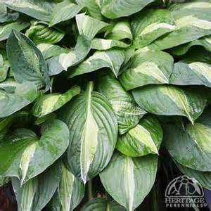 are hostas annuals or perennials plant profile for hosta striptease hosta perennial