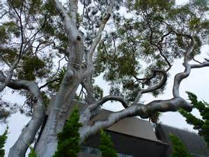 australian native trees gardening with angus
