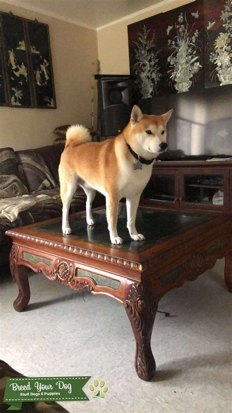 Most shiba inu have curled tails, but the dog may have a less common tail type called a sickle tail. Stud Dog - Red Shiba Inu Stud - Breed Your Dog
