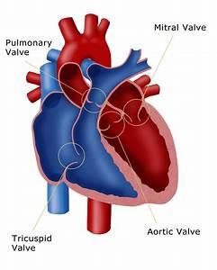Exam 5  Cardiovascular System  U0026 Blood