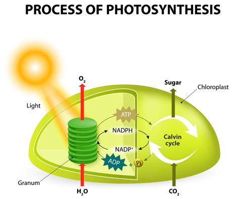 Where In The Chloroplast Do The Light Reactions Occur by Absorbing Facts About Chloroplast You May Not Known