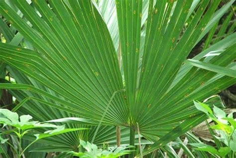 quel palmier r 233 sistant au froid cultiver