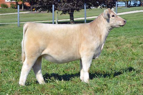 reiboldt show cattle  sale  pulse