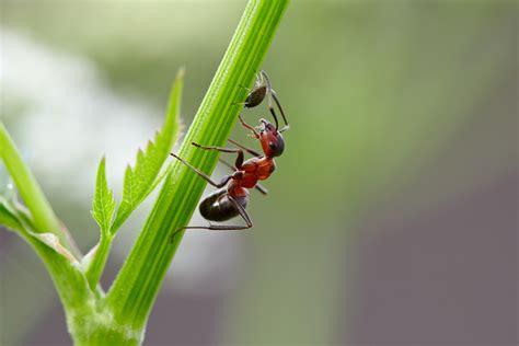 ameisen an pflanzen neudorff ameisen