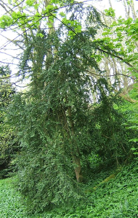 Buxus sempervirens Wikipedia