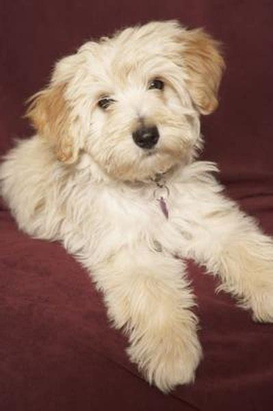 When Does a Havanese Stop Growing? - Pets