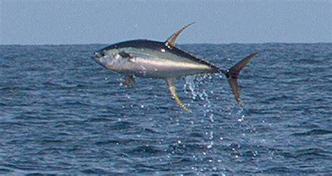 tuna  flight  louisiana power motoryacht