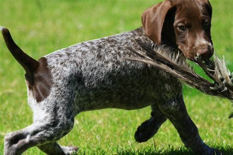 Stop German Shorthaired Pointer Shedding german shorthaired pointer the happy puppy site