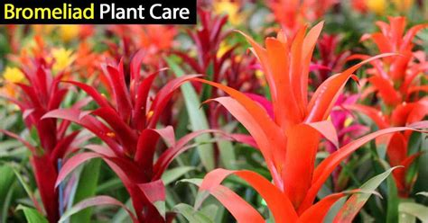 care of plant bromeliad plant care how to grow and care for bromeliads