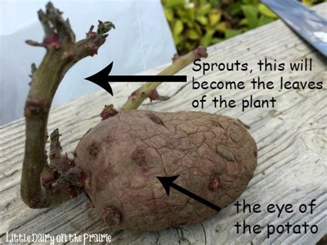 how to potatoes from garden potato planting tips dairy on the prairie