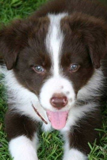 short hair border collie puppy