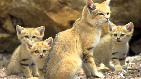 sand cats cat facts endangered desert species morocco animal land africa sandy felis margarita dune