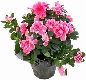 Pot De Fleur Transparent : azalee en pot photo de fleur une pensee fleuriste ~ Teatrodelosmanantiales.com Idées de Décoration