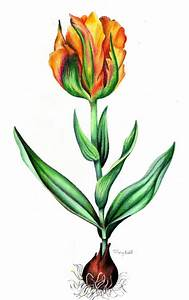 Botanical Drawing Of Tulip By Tiffany Budd  Welcome To My