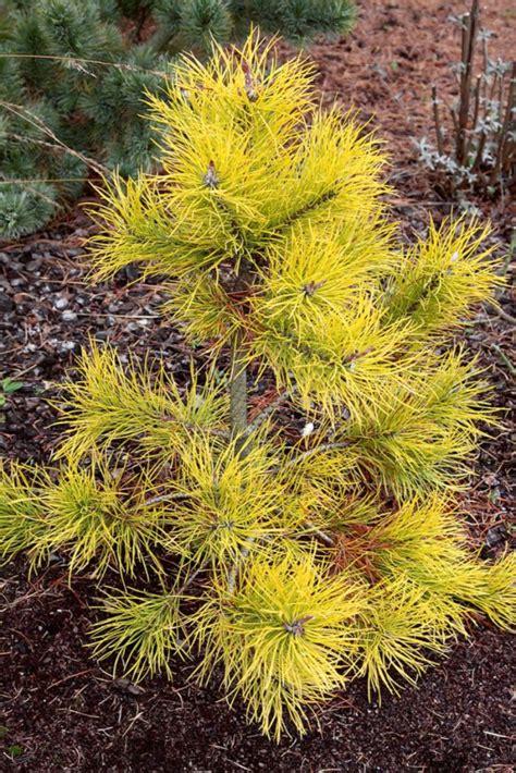 Skujkoki mazam dārzam. 10 retas šķirnes, kas derēs nelielām platībām   Praktiski.lv