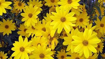 Yellow Flowers 4k Resolution Wallpapers Yodobi