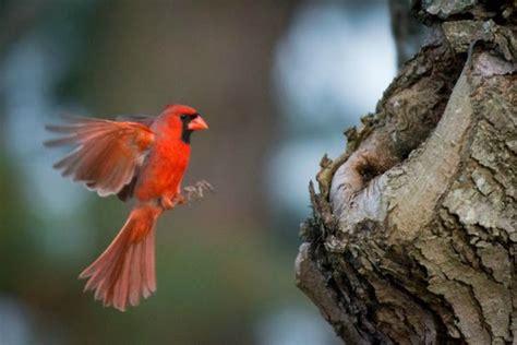 cardinal flying into window www pixshark com images