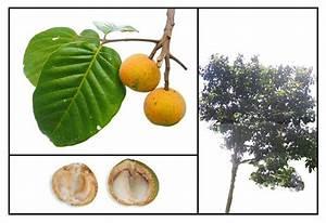 Santol / Sandoricum koetjape Philippine Medicinal Herbs ...