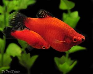 Extremely Pregnant Swordtail...How soon do think she will ...