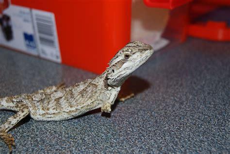 reptile vet perth lizard turtle vet perth the