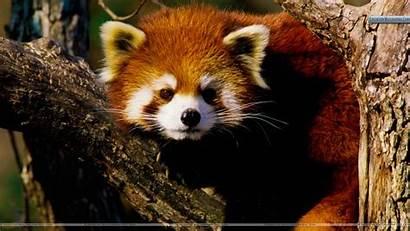 Panda Wallpapersafari Aug