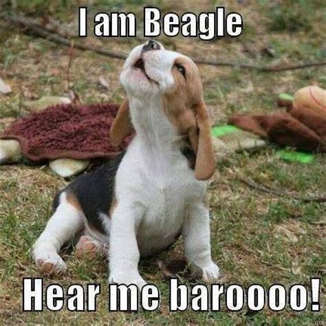 Beagle Memes - quot and baroooo i doooooo quot funny memes pinterest beagle dog and animal