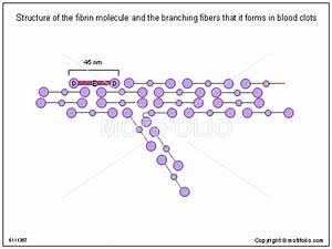 Structure of the fibrin molecule and the branching fibers ...